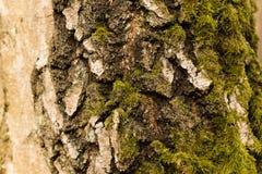 Corteccia di betulla Fotografia Stock Libera da Diritti