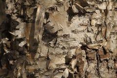 Corteccia di betulla di carta Fotografia Stock