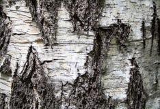 Corteccia di betulla Struttura, fondo fotografia stock