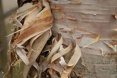 Corteccia di betulla tagliuzzata Immagine Stock Libera da Diritti