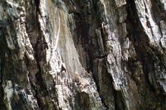 Corteccia di di olivo Immagini Stock Libere da Diritti