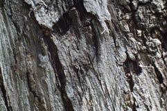 Corteccia di di olivo Fotografia Stock Libera da Diritti