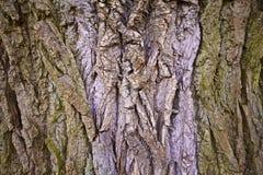 Corteccia di latifoglia Fotografie Stock