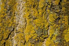 Corteccia di legno con muschio giallo Fotografie Stock