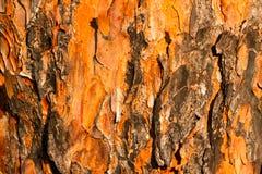 Corteccia di pino Fotografie Stock Libere da Diritti