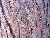 Corteccia di pino Immagine Stock Libera da Diritti