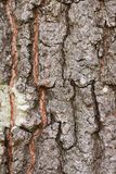 Corteccia di quercia fotografie stock