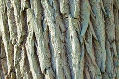 Corteccia di quercia con molte crepe Fotografia Stock