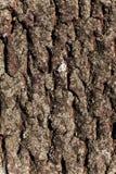 Corteccia di struttura dell'albero di pino Fotografia Stock