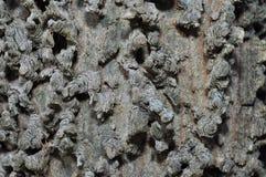 Corteccia di un albero del Hackberry immagine stock
