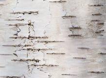 Corteccia di un albero di betulla Fotografia Stock Libera da Diritti
