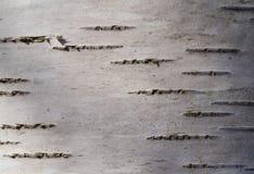 Corteccia di un albero di betulla Fotografia Stock
