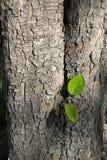 Corteccia di un albero di pera Fotografie Stock