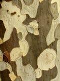 Corteccia di un albero piano di Londra Fotografie Stock Libere da Diritti