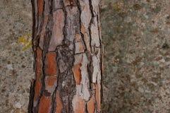 Corteccia di un albero di pino fotografia stock