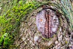 Corteccia di un tronco di albero identico un occhio del coccodrillo gigante immagine stock