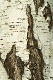 Corteccia di una betulla Fotografia Stock