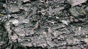 Corteccia di una fine dell'albero su, bella corteccia impressionante di un albero Panoramico verticale video d archivio