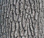 Corteccia di una quercia antica fotografia stock libera da diritti