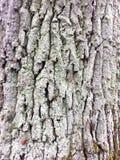Corteccia di vecchia quercia Fotografia Stock