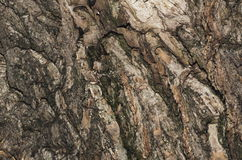 Corteccia di vecchio albero Fotografia Stock