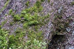 Corteccia di vecchio albero di abete coperto di muschio Immagine Stock