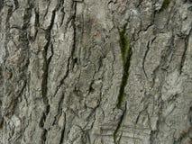 Corteccia di vecchio albero con un muschio verde Fotografia Stock Libera da Diritti