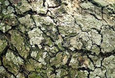 Corteccia di vecchio albero di pera Fotografia Stock Libera da Diritti