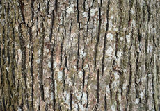 Corteccia di vecchio albero nella foresta Immagine Stock