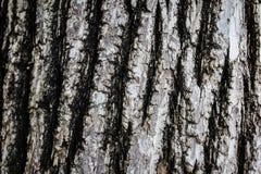 Corteccia di vecchio modello di legno del fondo di struttura dell'albero Immagine Stock