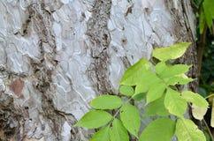 Corteccia e foglie bianche Immagine Stock