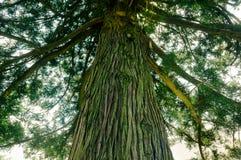 Corteccia e foglie maestose di un albero della montagna fotografia stock libera da diritti