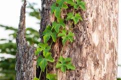 Corteccia e verde Immagine Stock