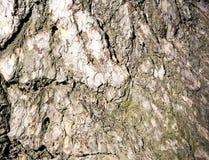corteccia Fondo di una corteccia di albero Immagine Stock Libera da Diritti