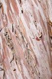 Corteccia liscia dell'Arizona Cypress fotografie stock libere da diritti