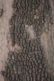 Corteccia Mangy della noce Fotografia Stock Libera da Diritti