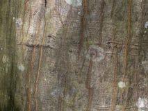 Corteccia muscosa dell'albero Fotografia Stock Libera da Diritti