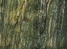 Corteccia ruvida di grande albero Fotografia Stock Libera da Diritti