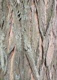 Corteccia sul robinia pseudoacacia falso dell'acacia Fotografia Stock