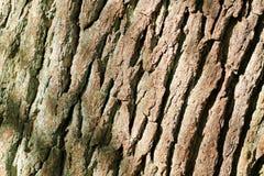 Corteccia sull'albero di quercia Fotografia Stock
