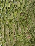 Corteccia verde da un albero della foglia Immagini Stock Libere da Diritti