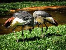 Cortejo de los pares de Grey Crowned Crane Balearica Regulorum imagenes de archivo