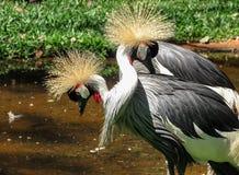 Cortejo de los pares de Grey Crowned Crane Balearica Regulorum imagen de archivo libre de regalías