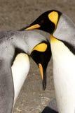 Cortejo do rei pinguins Imagens de Stock Royalty Free