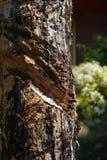 Cortes na casca da árvore da borracha tailândia Foto de Stock Royalty Free