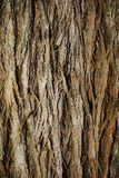 Cortex. Part of the bark of the trunk of a tree Stock Photos