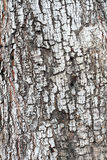 Cortex of the alder with lichen Royalty Free Stock Image