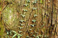 Cortex av ett gammalt träd Arkivbild