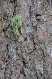Cortex lichen Royalty Free Stock Images
