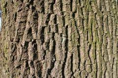 Cortex (rind, bark) of trunk Stock Photo